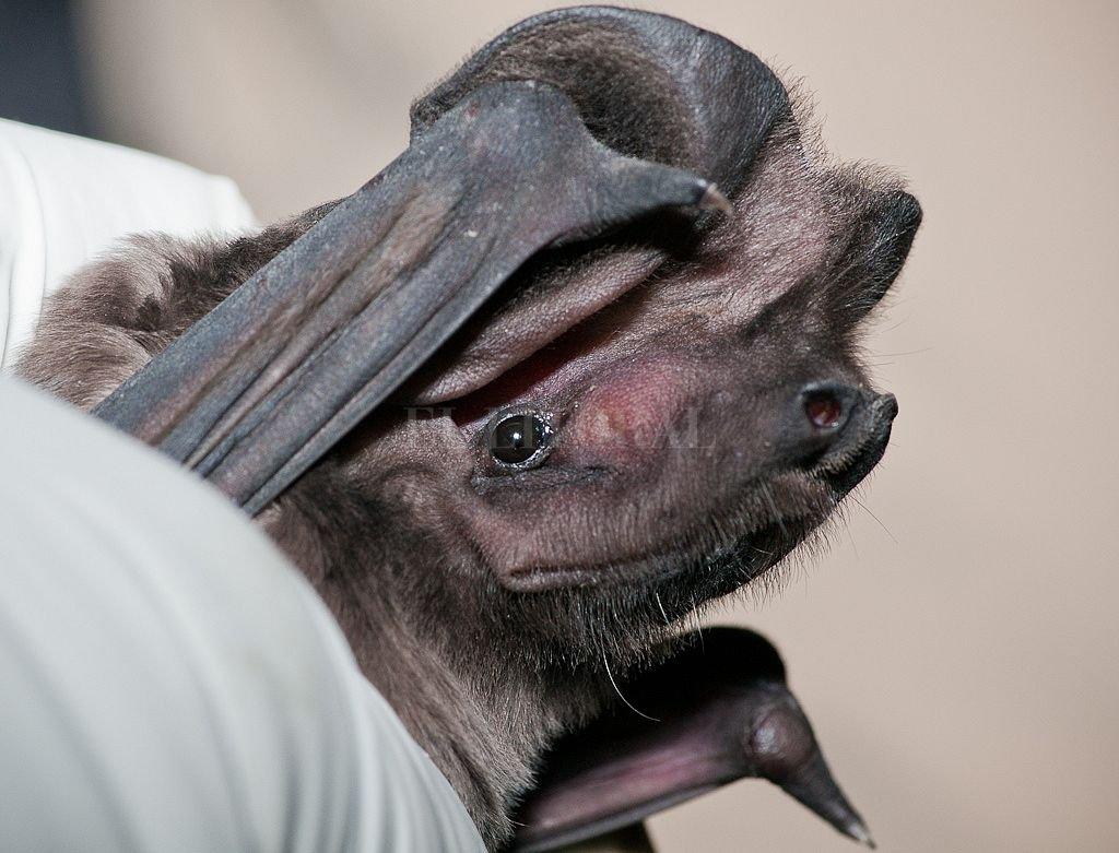 Advierten nuevos casos de murciélagos con rabia