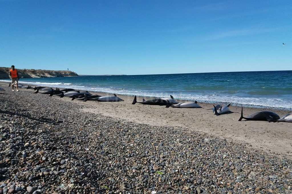 Murieron 49 delfines varados en una playa de Puerto Madryn