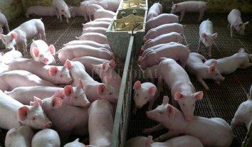 Argentina importará cerdos de EE.UU