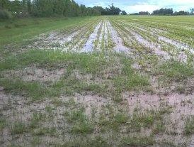 El clima complica la cosecha pero las lluvias favorecen la campaña fina
