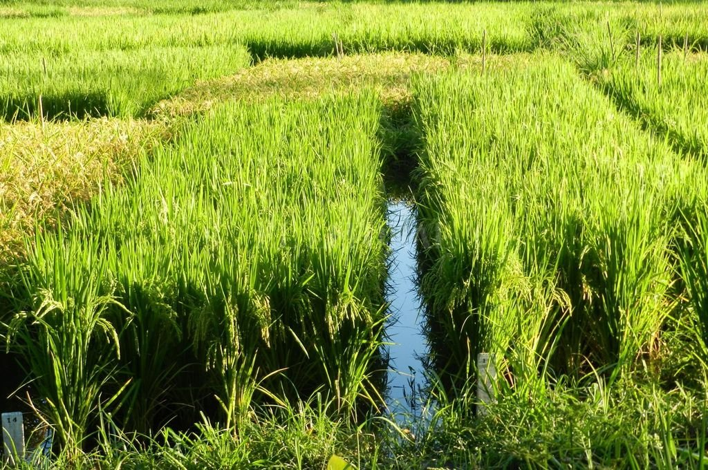 La provincia desarrolló una variedad de arroz que alcanzó rendimientos récords