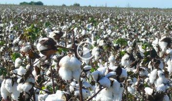 Algodón: muy buena cosecha y nueva herramienta para venderla