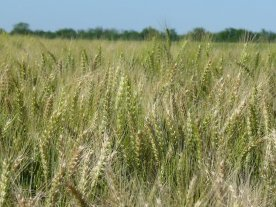 Comenzó la siembra del trigo con muchas expectativas