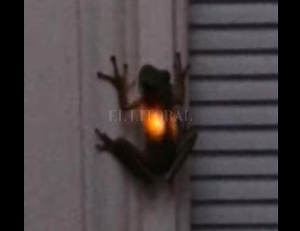 Esta rana se comió una luciérnaga y ahora brilla en la oscuridad. Crédito: Internet