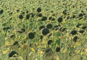 Las condiciones ambientales impidieron el comienzo de la siembra del girasol