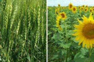 El plus de un invierno óptimo para el trigo y un comienzo con buenas condiciones para el girasol