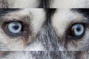 ¿Por qué los huskies siberianos tienen los ojos azules?