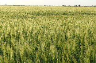En el cierre del ciclo del trigo, comenzaron los inconvenientes