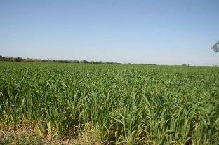 Oportunas precipitaciones para los cultivos implantados - Imagen ilustrativa. -