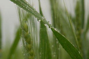 Las lluvias beneficiaron a los cultivos implantados