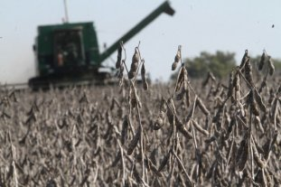 La Niña impacta más que El Niño en la soja santafesina -  -