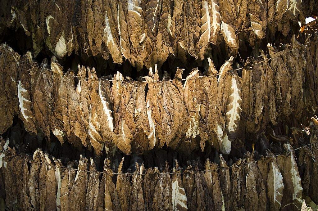 Hojas de tabaco. Crédito: Archivo El Litoral