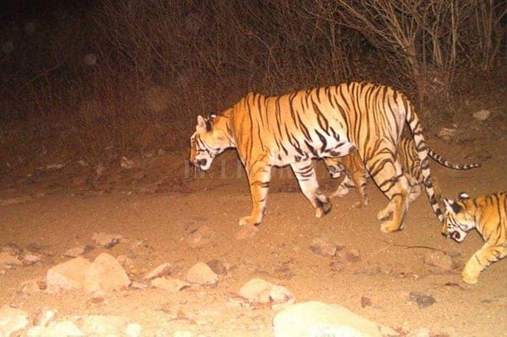 Una segunda tigresa es abatida en India en dos días