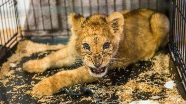 París: Encontraron un cachorro de león en un auto