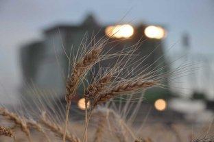 Las lluvias impactaron al trigo