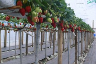 Frutillas en altura: una alternativa para ganarle terreno al avance inmobiliario