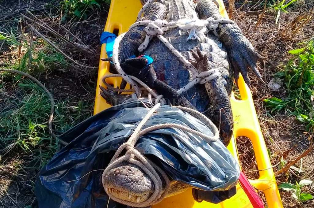 Atraparon un yacaré en Rincón