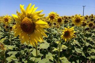 Girasol: los rendimientos salvaron a los productores santafesinos