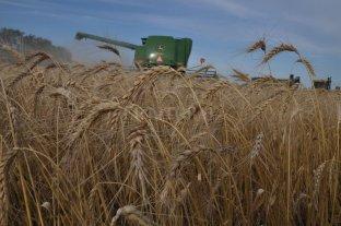 Trigo: finalizó la cosecha con rindes superiores a la campaña pasada