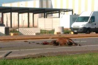 Atropellaron a una yegua en la Ruta Nacional 19