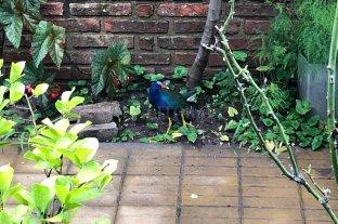 "Una ""Pollona azul"" sorprendió a una vecina de barrio Guadalupe"