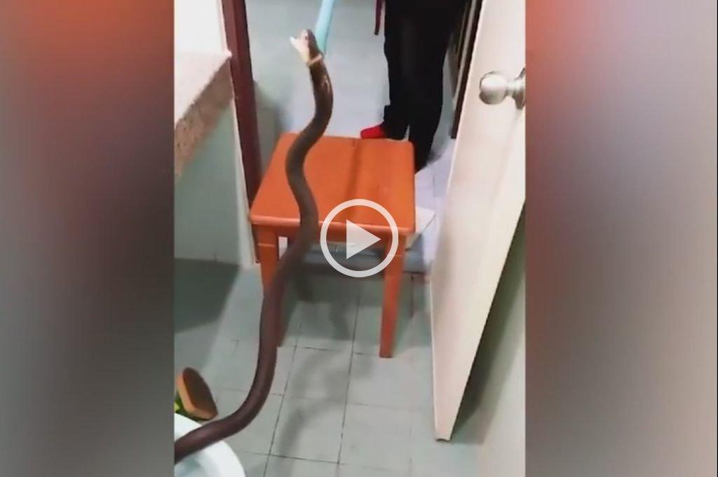 Una cobra de un metro y medio en el inodoro