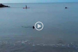 Video: sorpresa en la Costa, un tiburón apareció muy cerca de la orilla