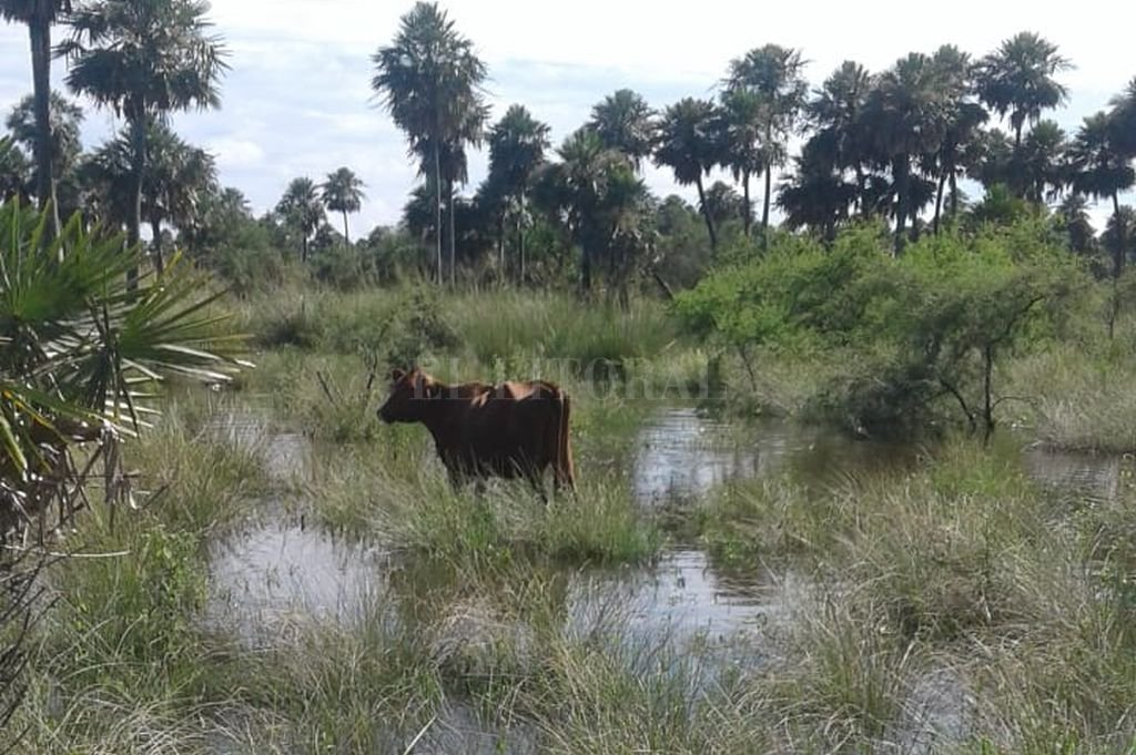 Estrategias en la inundación: criador apunta a preñar sin destetar