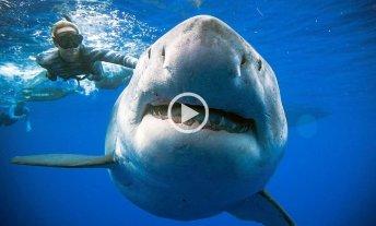 """Volvieron a encontrar a """"Deep Blue"""", el tiburón blanco hembra más grande del mundo"""