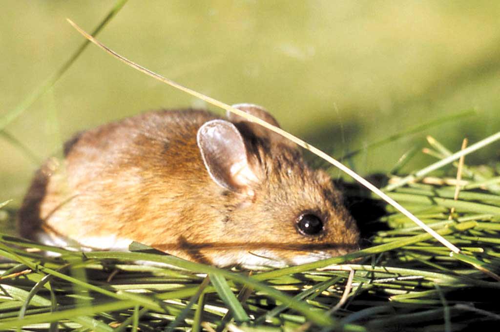 Vector. Roedores como el ratón colilargo contagian hantavirus a través de las partículas secas de sus heces y orina. <strong>Foto:</strong> Archivo.