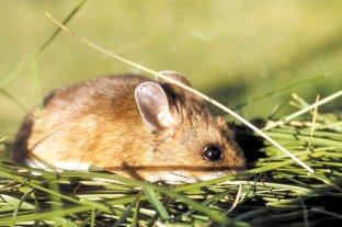 En el país, circulan 10 cepas virales distintas de hantavirus - Vector. Roedores como el ratón colilargo contagian hantavirus a través de las partículas secas de sus heces y orina. -