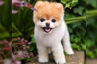 Falleció Boo, el perro más lindo del mundo