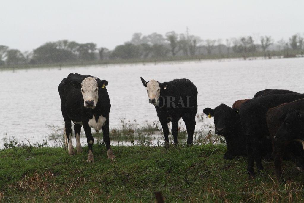 Inundaciones: cómo manejar el ganado y reducir el impacto