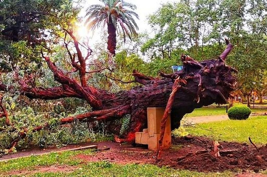 Se trata del eucalipto que había sido plantado por el escritor Jorge Luis Borges, junto al por entonces intendente de dicha ciudad, Emilio Ardiani, en 1969. <strong>Foto:</strong> Gentileza