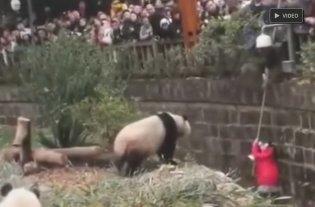 Video: Una niña causó pánico en China cuando se cayó al hábitad de los pandas