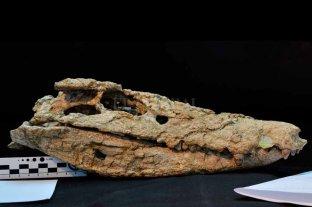 Presentaron en Neuquén el esqueleto de un cocodrilo de 70 millones de años