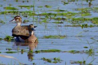 El Senado santafesino pide  rehabilitar la caza del pato -