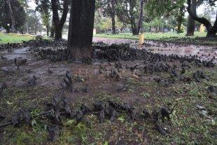 Por qué la tormenta arrasó con las golondrinas en Plaza Constituyentes