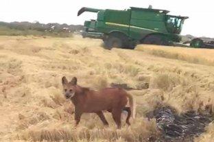 Video: dos aguará guazú sorprendieron en un campo santafesino