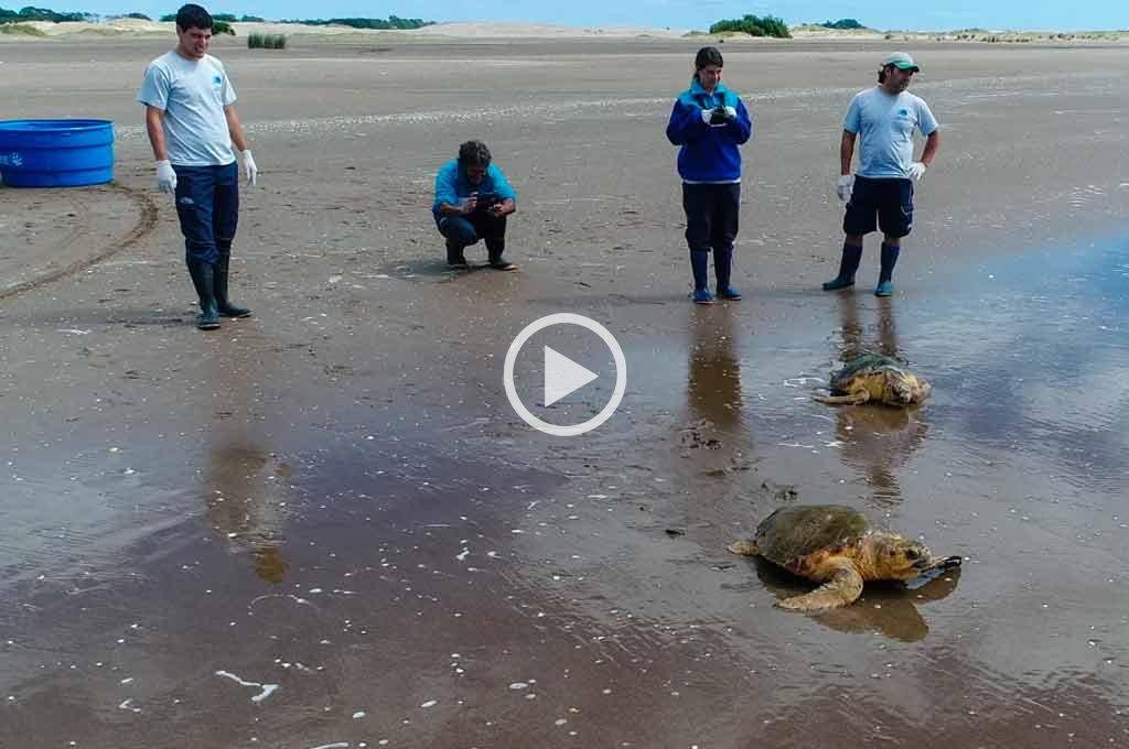 Video: así salvaron a dos tortugas cabezonas atrapadas en redes de pesca