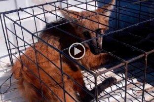 Video: rescataron un aguará guazú en el norte de Santa Fe