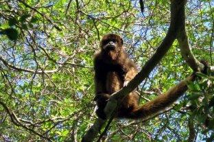 La provincia liberó cinco monos carayá en un área natural protegida