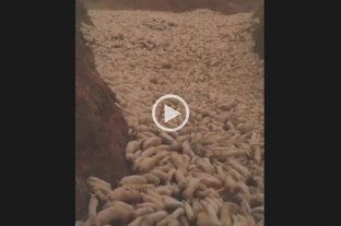 China: impactante video del sacrificio de cerdos por la peste porcina africana