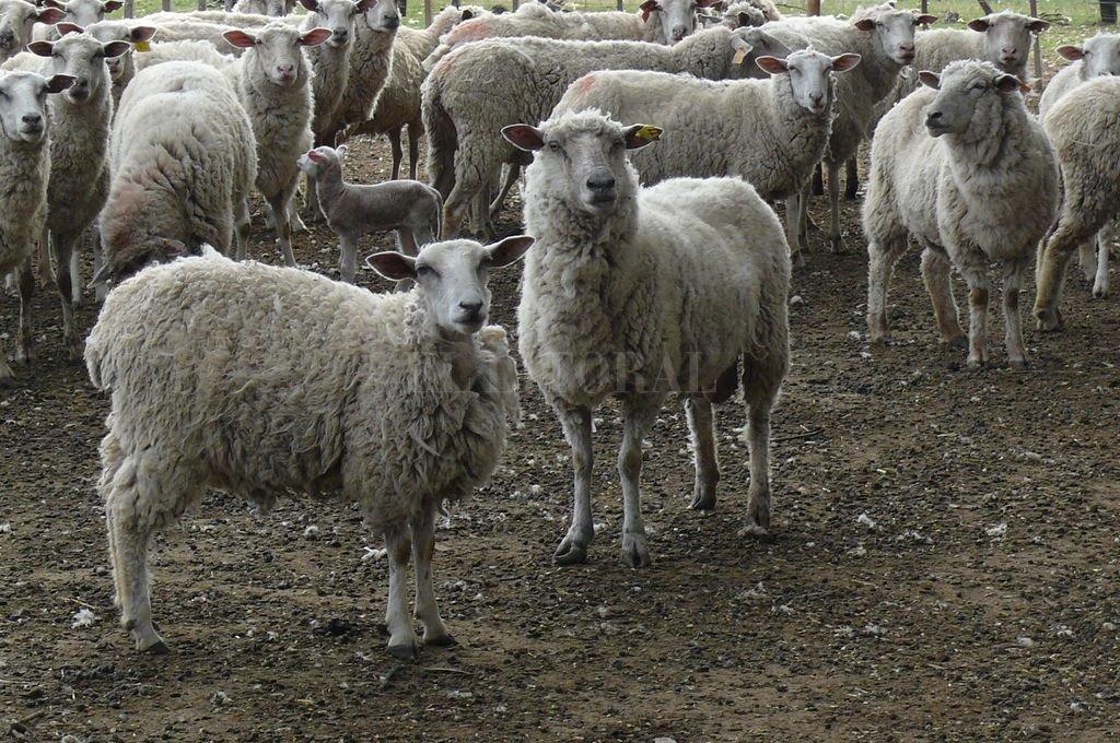 Más kilos, más cabezas y mayor consumo: llegan los ovinos a ArgenCarne