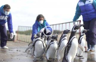 "Liberaron al ""pingüino cordobés"" víctima de mascotismo -  -"
