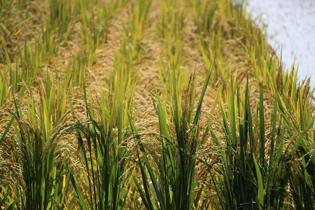 Santa Fe presentará el primer arroz Clearfield doble carolina del país