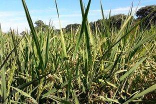 Falta de luz solar: factor decisivo en la baja del rendimiento en arroz