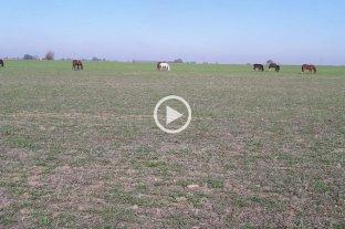 Sigue la anarquía: caballos sueltos se comen el trigo de los chacareros