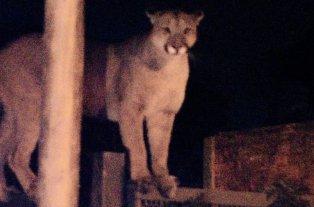 Atraparon a un puma que estaba suelto en Bahía Blanca -  -