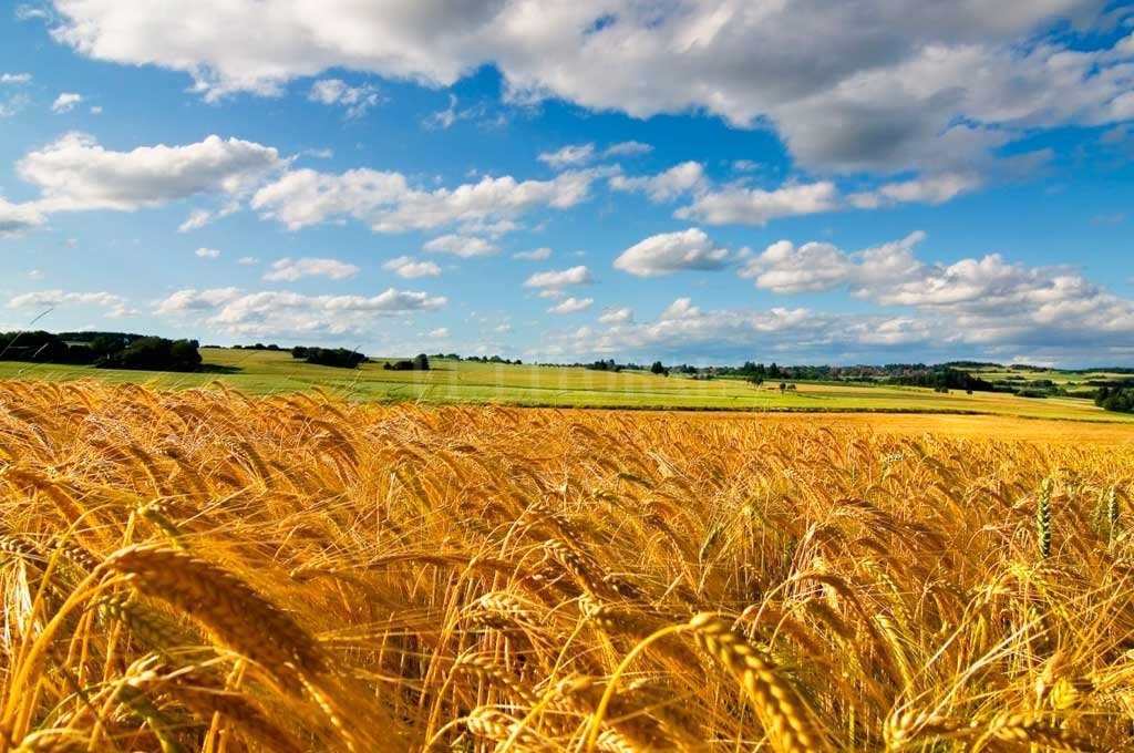 En 6 años se triplicaron  las hectáreas de trigo
